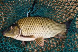 hybrid carp