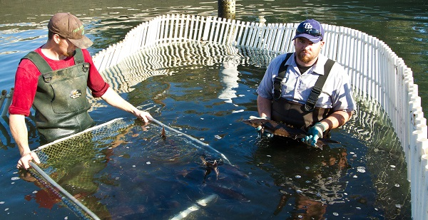 Freshwater Fish Co. Fish Techs Harvesting Sturgeon
