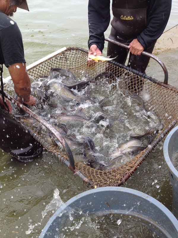 Freshwater Fish Co. Harvesting Catfish